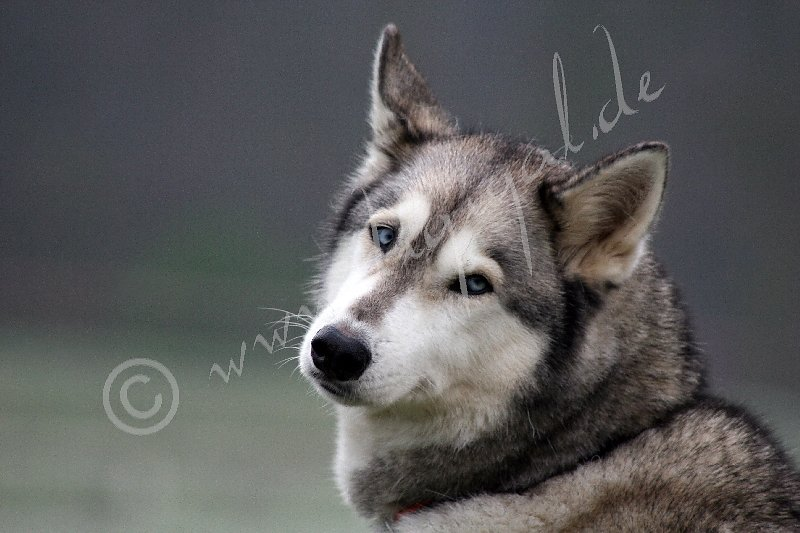Husky7899.jpg