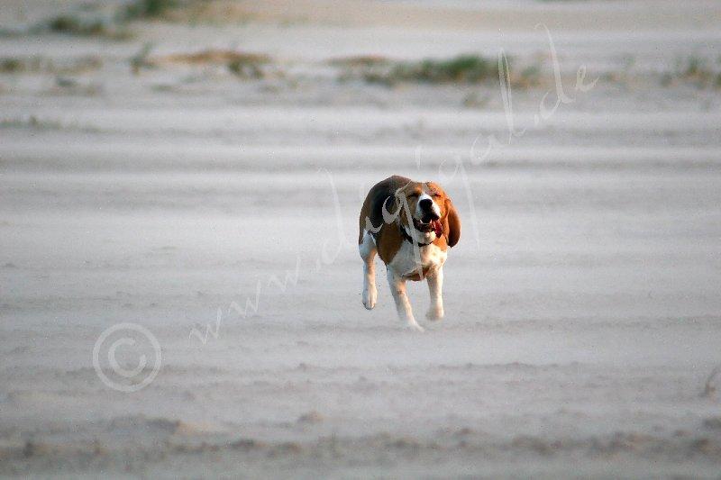 Wenn der Beagle rennt...