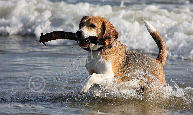 Dem Beagle geht nichts verloren