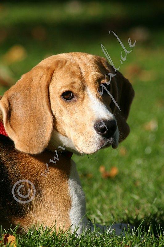 Des Beagles Blick... unwiderstehlich