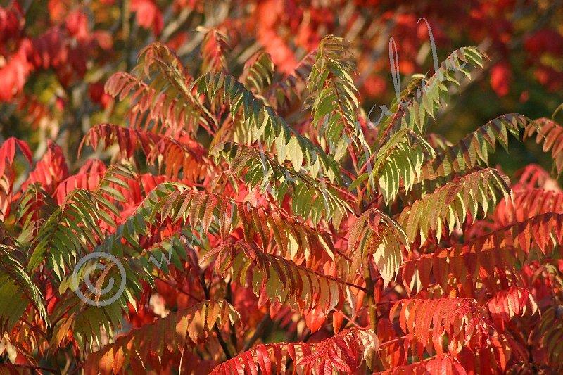 Herbstfärbung der Eberesche