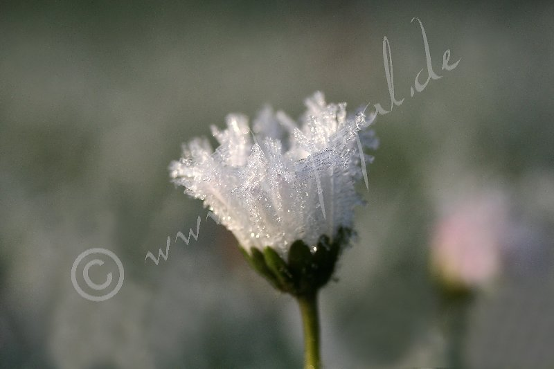Gefrorenes Gänseblümchen