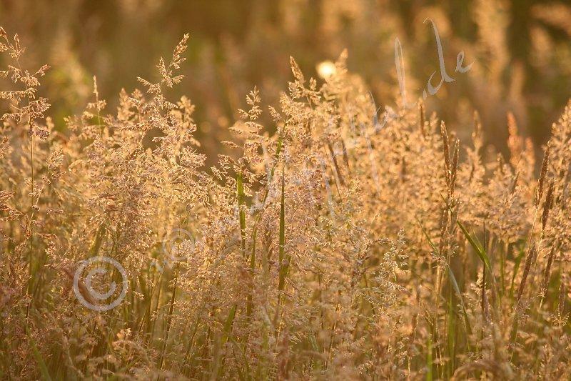 Honiggräser